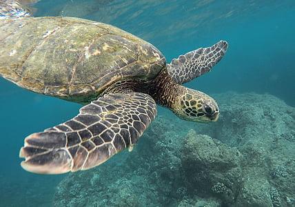 állat, korall zátony, óceán, tenger, úszás, teknős, teknős