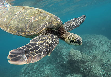 животните, коралов риф, океан, море, плуване, костенурка, костенурка