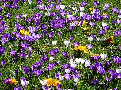 màu xanh, lá bắc Hoa, bloomer đầu, mùa xuân, Sân vườn, củ, Crocus