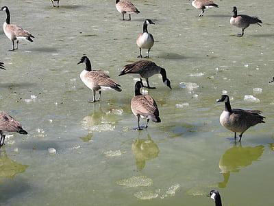 ガチョウ, ガチョウ, カナダ, 冷凍, 池, 水, 氷