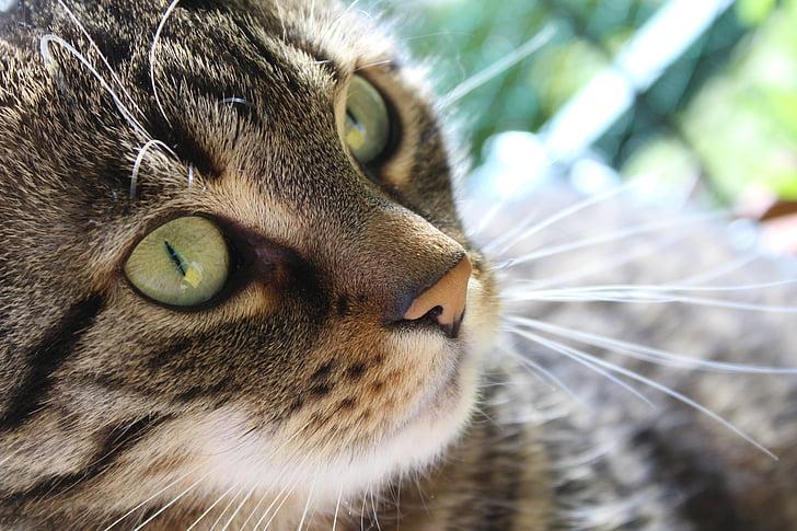 gatto, Mieze, animale domestico, carina, gatto tigre, viso, occhi di gatto
