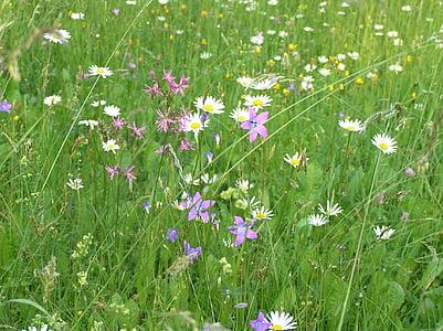 Príroda, lúka rastliny, Bell, Daisy, jar, lúka, letné