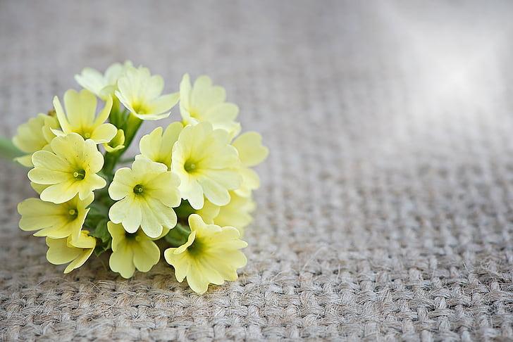 Raktažolės, gėlė, gėlės, geltonos gėlės, geltona, pažymėti gėlė, Pavasario gėlė, anksti žydi gėlės