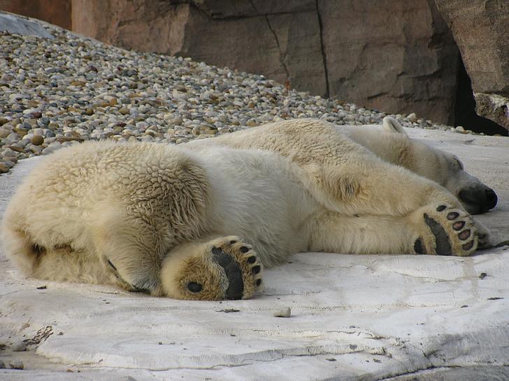 tidur, beruang kutub, tidur, tidur siang, bersantai, dingin, musim dingin