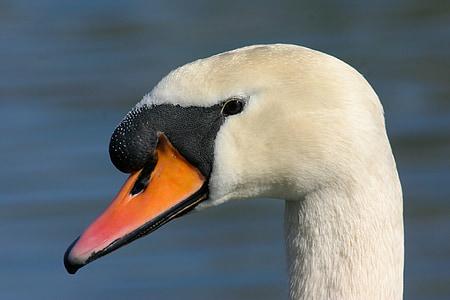 лебед, ням лебед, вода птица, птица, Cygnus olor, лебед, природата