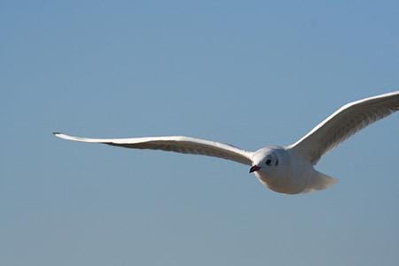 cel, Gavina, ocell, Costa, ala, vol dels ocells, ocells