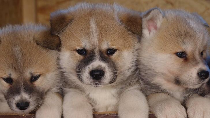 dog, animal, pets, puppy, pet, puppies