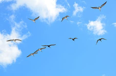 Seagulls, flygande, mås, fågel, aviär, flyg, Sky