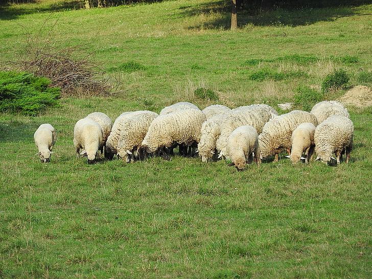 ovelles, Ramaderia, pasturar, les pastures