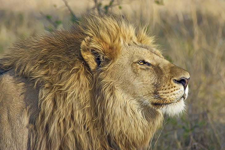 lion, big cat, predator, safari, wilderness, wildlife, botswana