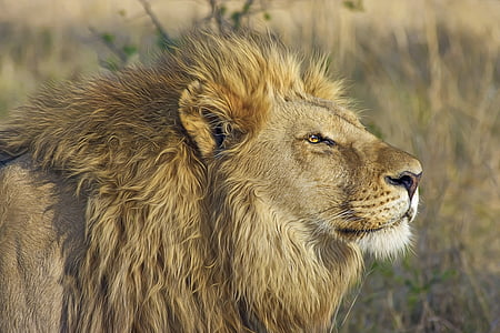 Lleó, gran gat, Predator, Safari, desert, vida silvestre, Botswana