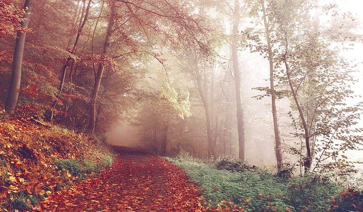 caminho, floresta, Outono, trilha, floresta, árvores, Outono