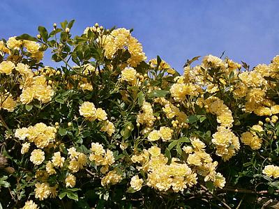 tõusis, lilled, kääbus roosid, roosi aed