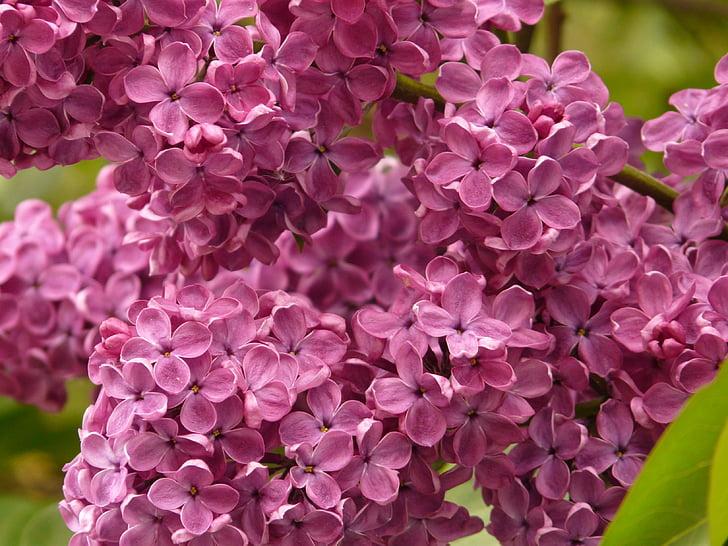 liliowy, Lilak pospolity, krzewów ozdobnych, Bush, roślina, Violet, kwiat