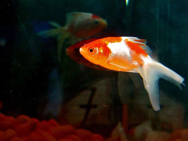 Zlatna ribica, riba, akvarij, riba cisterna, vode