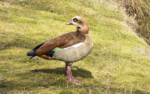 nilgans, fasanerie, duck bird, breeding bird