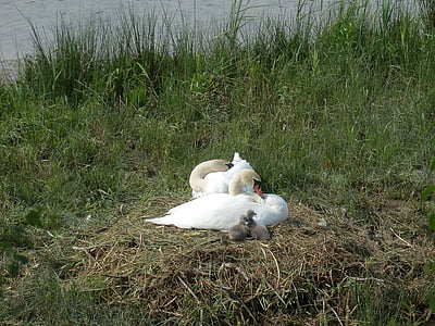 swan, swans, breed, hatching, boy, baby swans