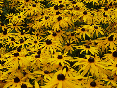 p müts, kollane, kollane coneflower, lilleaed, lilled, lähedalt suveaed, põõsas