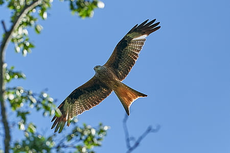 punainen leija, puu, lentää, Raptor, lintu, taivas, metsästys