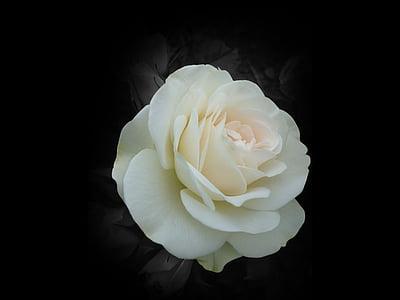 Blume, ROS, Garten, weiß, Sommer