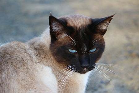 cat, siamese cat, siam, mieze, breed cat, cat's eyes, moustache