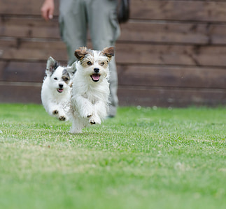 hybrids, small, sweet, small dog, pet, wuschelig, small hybrid