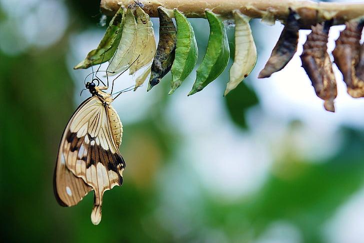 ruskea, valkoinen perhonen, Perhoset, värikäs, hyönteinen, Luonto, eläinten