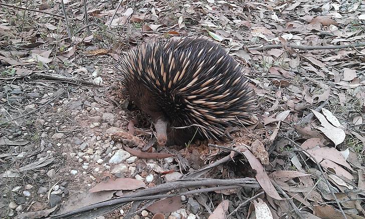 bodljikavo prase, echidna, priroda, sisavac, životinja, biljni i životinjski svijet, Australija