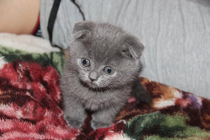 kitten, cat, grey, persian cat