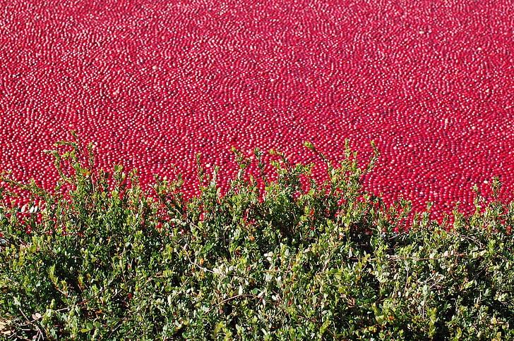 Cranberry bog, Cranberry, khỏe mạnh, hữu cơ, bog-berry, màu đỏ, Berry