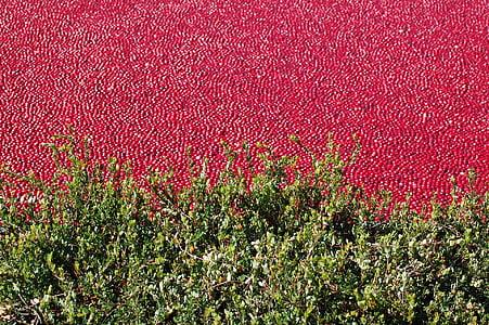 brusnicový bog, Brusnica, zdravé, organické, Bog-bobule, červená, Berry