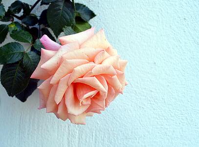 Rosa, escalada Rosa, jardí, flor, flor, fragància, flor