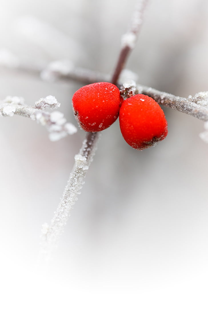 red berries, branch, cold, flora, ze, frost, frosty