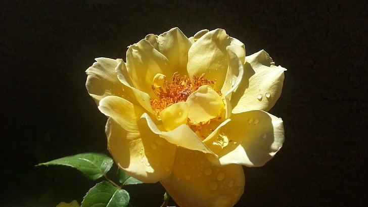 Rosa, groc, pètals, gotes d'aigua, flor