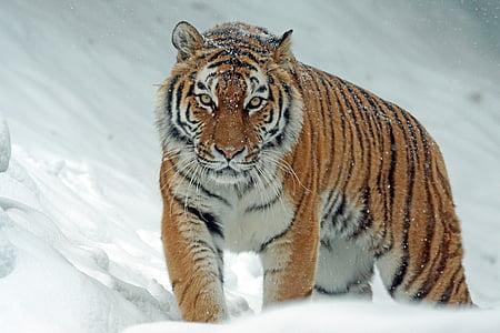amurtiger, siberian, predator, carnivores, cat, tiger, dangerous