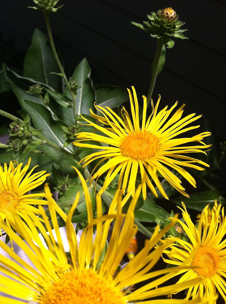elecampane, flower, herbal, plant, medicinal, nature