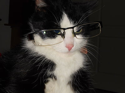 cat with glasses, cat, crafty cat
