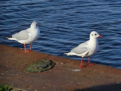 นกนางนวล, ชายหาด, น้ำ, ทะเลบอลติก, นกนางนวล, นก, ทะเล