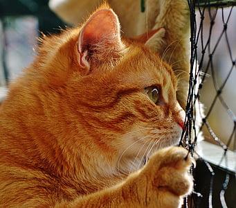 котка, червен, Сладък, скумрия, Тигър, Сладко, пухкав