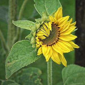 Sun flower, Helianthus, taim, kollane, Helianthus annuus