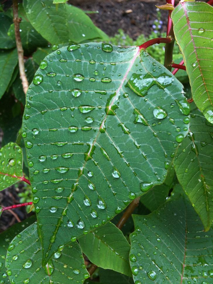 листа, капчици, природата, вода, чисти, пресни, дъждовна капка