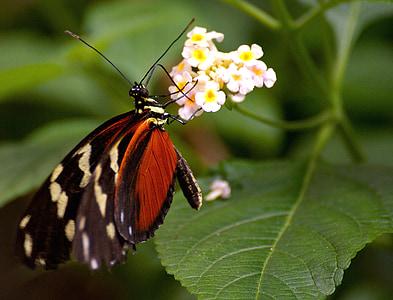 perhonen, eksoottinen, Tropical, hyönteinen, Butterfly house, hotellissa, siipi