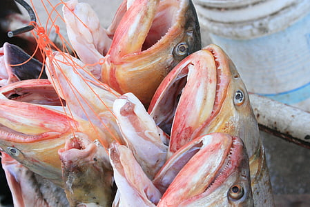 fish, gold, surubí, fresh, fishing, seafood, open mouth
