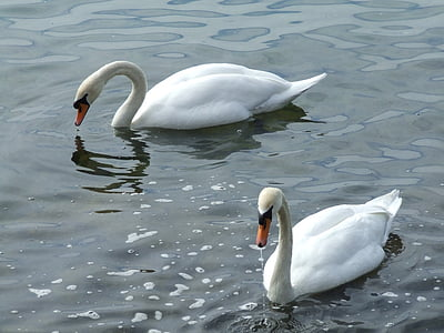 swan, swans, water bird, schwimmvogel