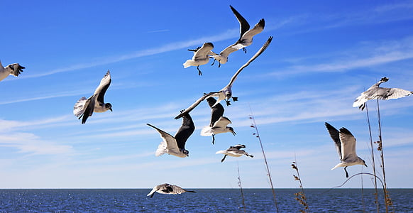 seagulls, flying, sky, waterfowl, tampa beaches