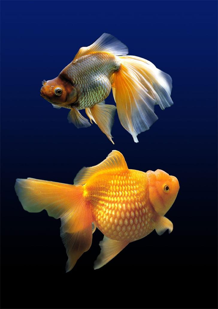риба, аквариум, вода, подводни, морски живот, плуване, подводен