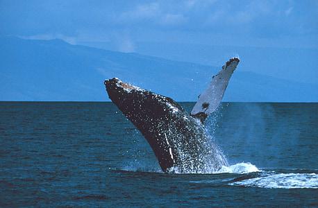 Καμπούρης φάλαινα, παραβιάζοντας, άλμα, Ωκεανός, θηλαστικό, Marine, σπρέι