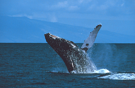 humpback whale, breaching, jumping, ocean, mammal, marine, spray