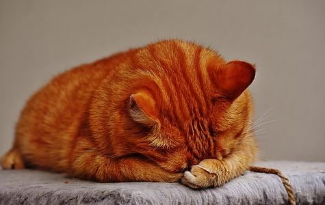 pisica, Red, somn, drăguţ, macrou, tigru, drag