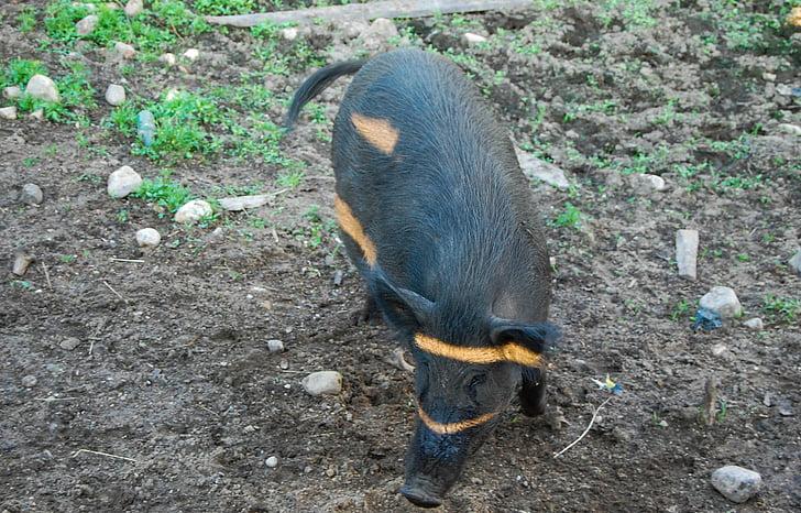 animal, cansalada, porc, vida silvestre, brut, longitud, zoològic